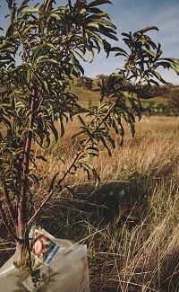Peach tree at Eaglerise Farm
