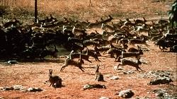 Historic photo of Australian rabbit plague in the 40s